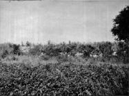 Pogled s istoka na antičku uljaru prije iskapanja početkom 50-ih godina, Barbariga. (bn. 2259, bp. 2461) Iz arhive Arheološkog muzeja Istre