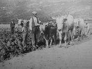 Prvi pokušaji obrađivanja zemlje u isušenom Čepićkom jezeru 1934. godine., Labin 1934.g., 52